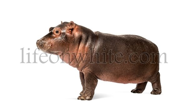 Hippo calf, 3 months old, isolated, Hippopotamus amphibius