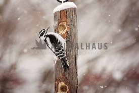 Woodpecker eating bark butter in winter