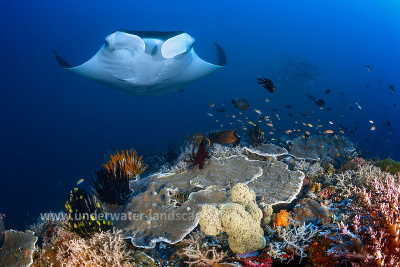 Ocean manta ray approaching