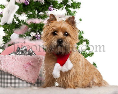 Cairn Terrier, 2 years old, sitting with Christmas tree and gifts in front of white background
