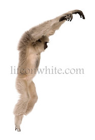 Young Pileated Gibbon, Hylobates Pileatus, 1 year old, leaping in front of white background