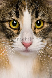 close up of a Norwegian Forest Cat (8 months old)