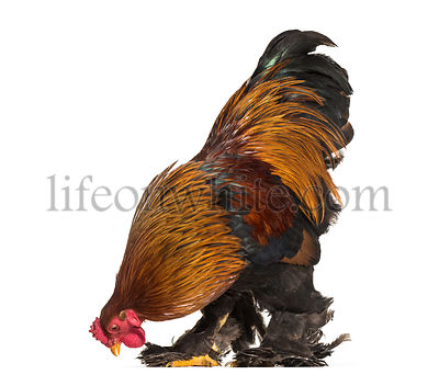Brahma Rooster, standing against white background