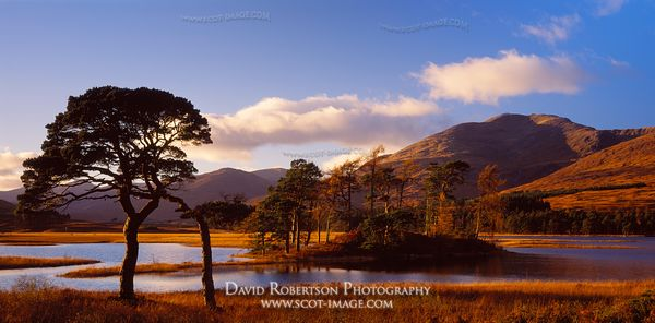 Image - Scots pine trees Panoramic, Loch Tulla, Argyll, Scotland
