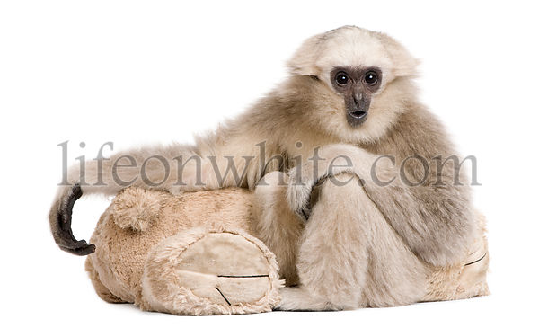Young Pileated Gibbon, 1 year, Hylobates Pileatus, sitting