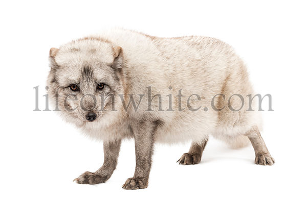 Arctic fox, Vulpes lagopus, also known as the white fox, polar fox or snow fox, standing, looking a camera, isolated on white