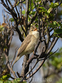 Marsh Warbler Acrocephalus palustris male in song Unst Shetland June