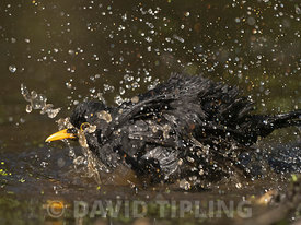 Blackbird Turdus merula bathing in garden Norfolk