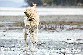 Yellow labrador dog running on the beach with a ball