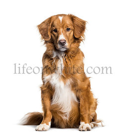 Toller , 2 months, sitting against white background