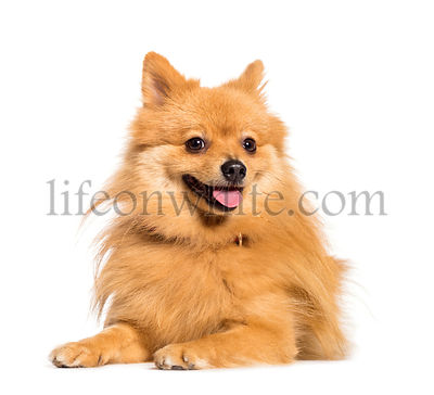 Keeshond lying in front of white background