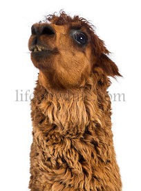 Close-up of Alpaca looking up against white background