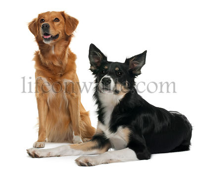 Border collie and a Nova scotia duck-tolling retriever, sitting and lying in front of white background