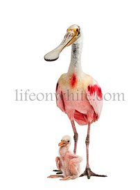 Roseate spoonbill and her chick, isolated on white