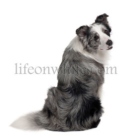 Border Collie, 1 years old, sitting in front of white background