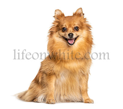 Panting and sitting Keeshond, isolated on white
