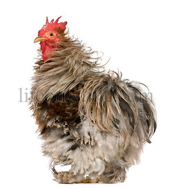 Curly Feathered Rooster Pekin, 1 year old, standing in front of white background