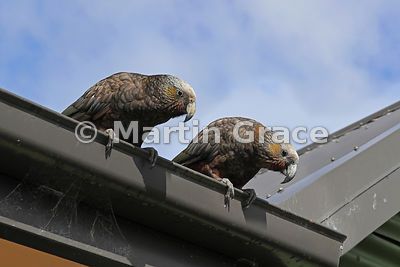 Two opportunistic South Island & Stewart Island Kakas (Nestor meridionalis ssp meridionalis) leaning over a house gutter on t...