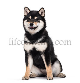 Shiba Inu puppy , 4.5 months old, sitting against white background