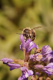 Frontal close up of a male hairy-footed flower bee , Anthophora plumipes sipping nectar