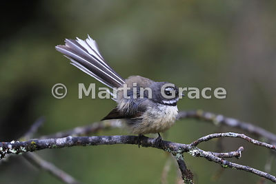 South Island subspecies of New Zealand Fantail (Rhipidura fuliginosa ssp fuliginosa) with feathers fluffed up after preening,...