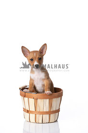 Podengo Puppy with paws on wooden basket looking straight