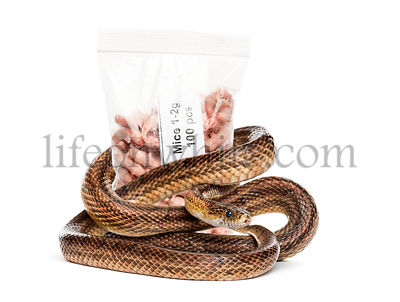 Snake roll up against a pack of freezing mice, food for pet