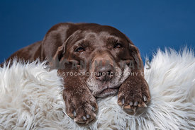 close up of tired chocolate lab on a fluffy rug