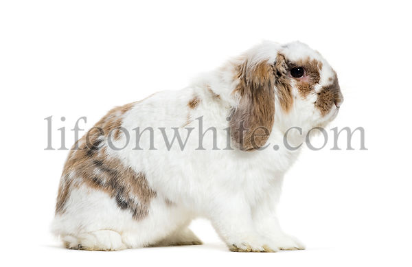 Holland Lop rabbit sitting in front of white background
