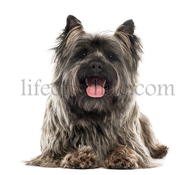 Front view of a Cairn Terrier lying, panting, isolated on white