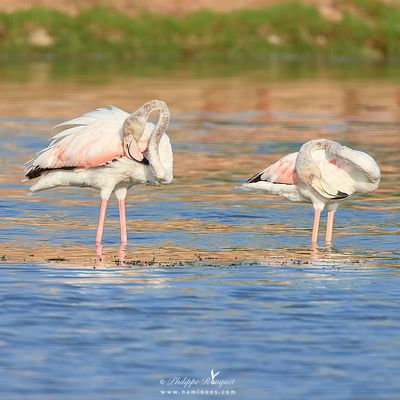 Twist-preening Greater Flamingo pair