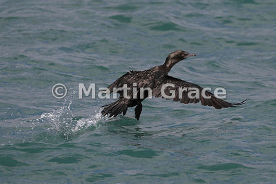 Little Black Shag (Phalacrocorax sulcirostris) taking off from the sea, Rangitoto Island, Hauraki Gulf, North Island, New Zea...