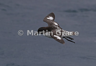 Cape Petrel (Daption capense) in flight, Kaikoura, Canterbury, South Island, New Zealand