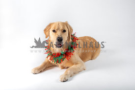 golden retriever in Christmas collar on white background