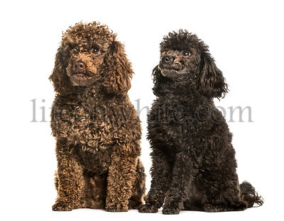 Toy poodles sitting against white background