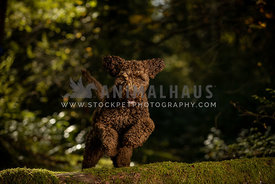 Large breed labradoodle dog jumping over log in forest