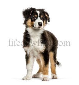 Australian Shepherd, 4 months old, in front of white background