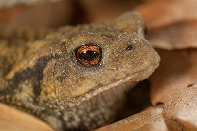 Crapaud commun (Bufo bufo) / Common toad