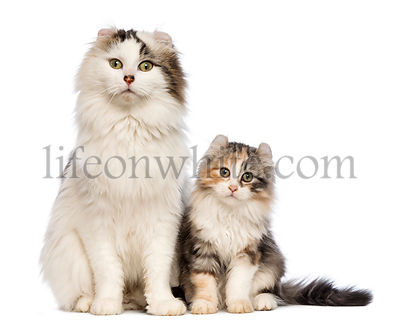 American Curl kitten, 3 months old, sitting with its mum in front of white background