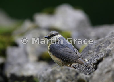 Juvenile Eurasian Nuthatch (Sitta europaea ssp caesia) on an old limestone garden wall, Lake District National Park, Cumbria,...