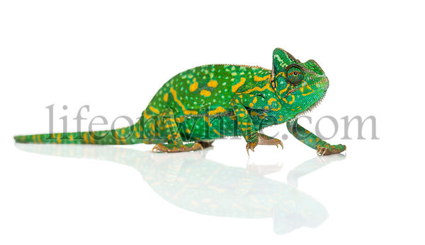 Yemen chameleon - Chamaeleo calyptratus - isolated on white