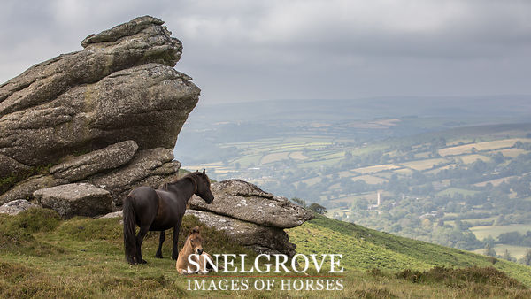 Dartmoor Mare & Foal over Widecombe in the Moor