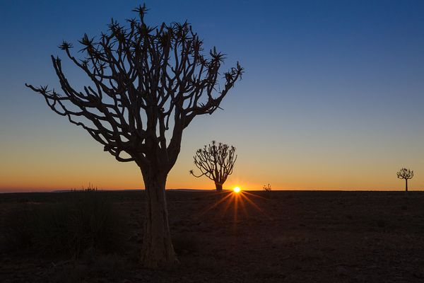 Silhouettes of lonely Quiver trees in southern Namibia.