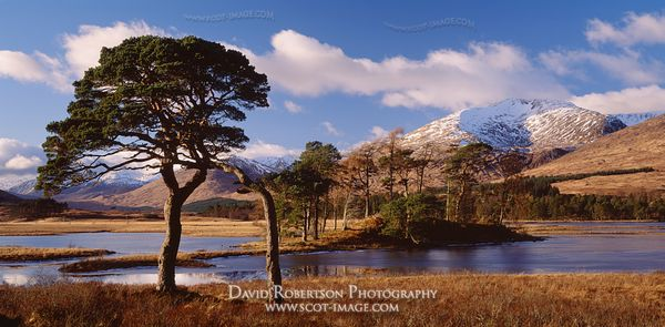 Image - Scots pine trees, Loch Tulla, Argyll, Scotland, Panoramic