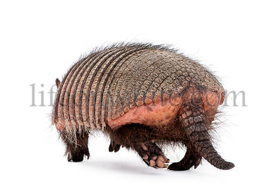 Rear view of Armadillo, Dasypodidae Cingulata, walking in front of white background