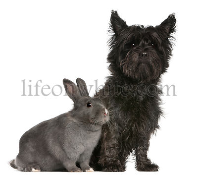 Cairn Terrier, 4 years old, and a rabbit, 1 year old, sitting in front of white background