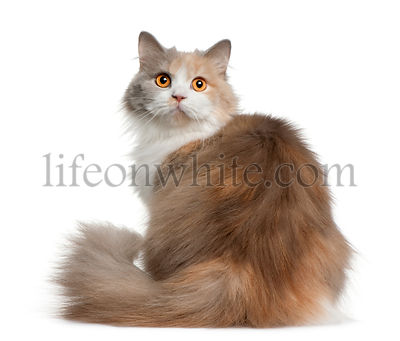 British longhair cat, 11 months old, sitting in front of white background