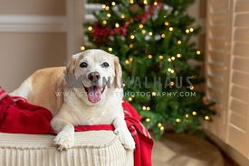Happy Dog laying in front of Christmas Tree