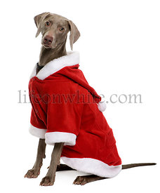Weimaraner in Santa coat, sitting in front of white background