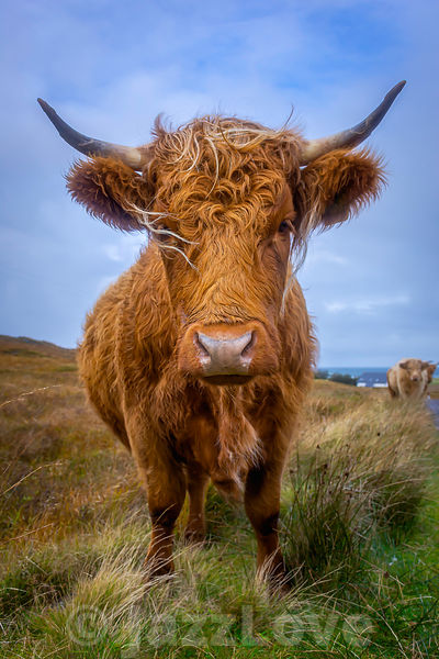 Highland cow on pasture.